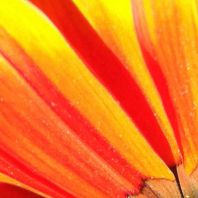 Sunburst Floral Still Life Photograph - Daisy 2-3 by Ann Pelaez