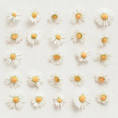 Cassia Photograph - Daisy Collection by Cassia Beck