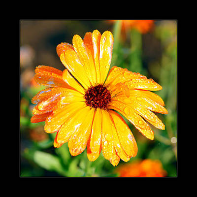Daisy Flower In Orange And Yellow  Original by Toppart Sweden