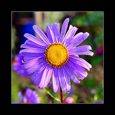 Daisy Flower In Purple Color Original by Toppart Sweden