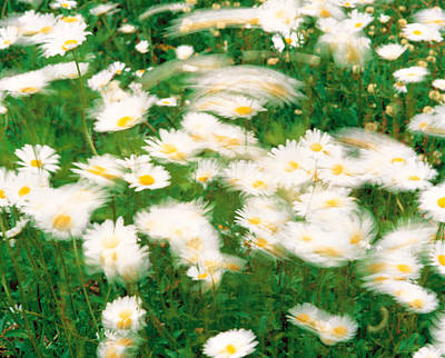 Daisy Flowers With Blur Motion Print by Panoramic Images