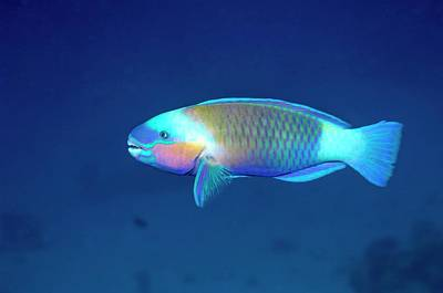 Parrotfish Photograph - Daisy Parrotfish by Georgette Douwma