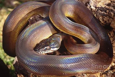 Python Photograph - Dalberts Python by Art Wolfe