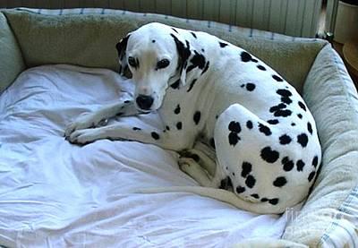 Dog Digital Art - Dalmatian At Rest by Anthony Morretta