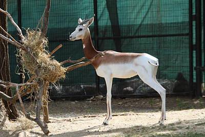 Animal Photograph - Dama Gazelle - National Zoo - 01135 by DC Photographer