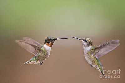 Ruby Throated Hummingbird Photograph - Dance Of The Hummingbirds by Bonnie Barry