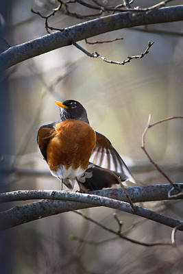 American Robin Photograph - Dance Of The Robin by Annette Hugen