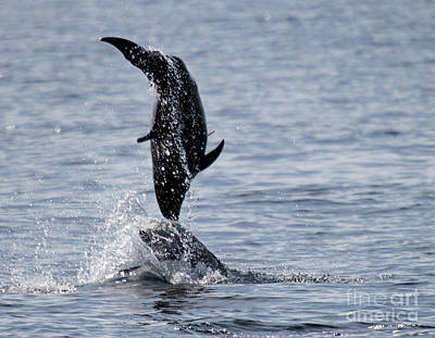 Dancing Dolphins Print by Bob Hislop