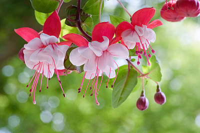 Summer Photograph - Dancing Fuchsia  by Garvin Hunter