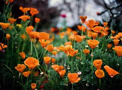 Medium Format Film Digital Art - Dancing Poppies by Linda Unger