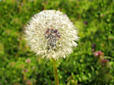 Dandelion Bliss Original by Brittany Roth