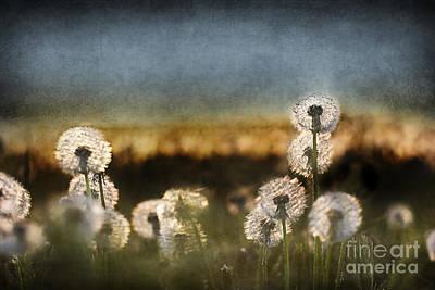 Daydreams Art Photograph - Dandelion Dusk by Cindy Singleton