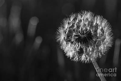 Dandelion In Black And White Print by Vishwanath Bhat
