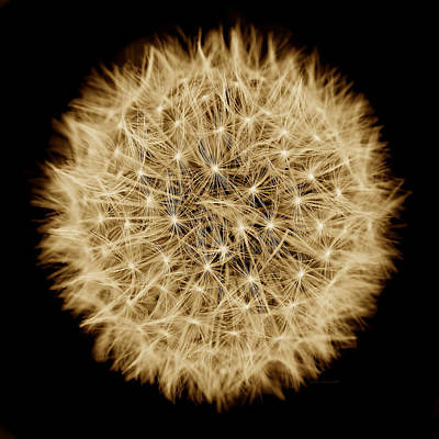 Dandelion Macro Abstract Sepia Brown Print by Jennie Marie Schell