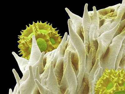 Dandelion Pollen Print by Karl Gaff
