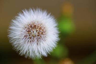 Dandelion Powder Puff Parachute Ball Print by Jennifer Lamanca Kaufman