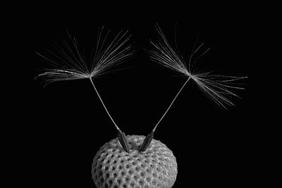 Balance In Life Photograph - Dandelion Seeds  Waterloo, Quebec by David Chapman