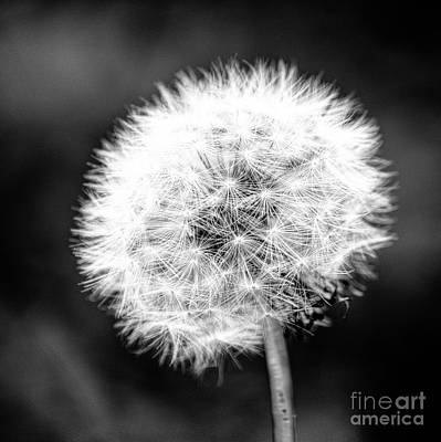 Dandelion Square Portrait In Black And White Print by Emily Kay