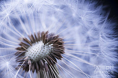Dandelion With Seeds Print by Elena Elisseeva