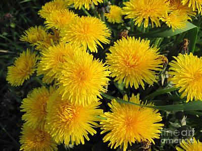 Dandelion Photograph - Dandelions In Macro by Conni Schaftenaar