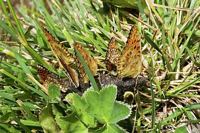 Fritillaries Photograph - Dark Green Fritillaries Mud-puddling by Bob Gibbons
