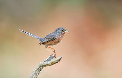 Sylvia Photograph - Dartford Warbler by Dr P. Marazzi