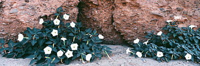 Mecca Photograph - Darura Blooms After Spring Rains In Box by Panoramic Images