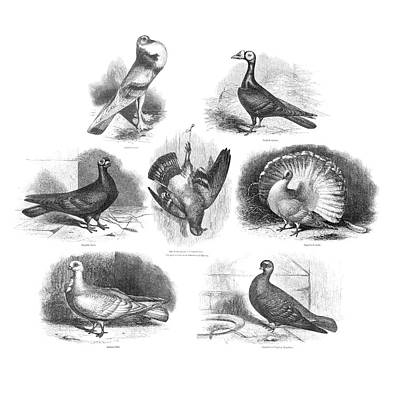 Darwin On Pigeon Evolution Print by Natural History Museum, London