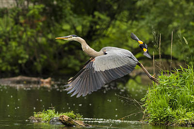 Great Heron Photograph - David Vs Goliath by Mircea Costina Photography