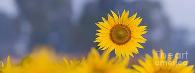 Dawn Light On Sunflower  Print by Tim Gainey