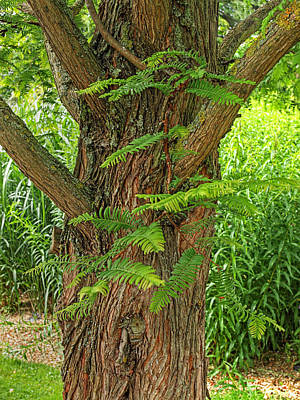 Dawn Redwood - Metasequoia Print by Gill Billington