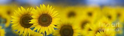 Dawn Sunflower Panoramic Print by Tim Gainey