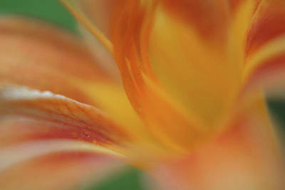 Daylily Abstract Print by Anna Miller