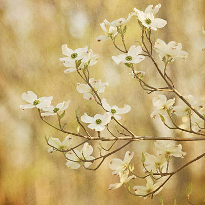 Days Of Dogwoods Print by Kim Hojnacki