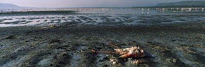 Flock Of Bird Photograph - Dead Flamingo At The Lakeside, Lake by Panoramic Images