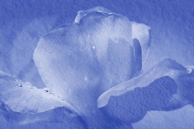 Deep Blue Photograph - Deep Blue Rose by Camille Lopez