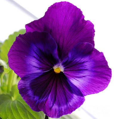 Viola Digital Art - Deep Purple Pansy by Nancy Mueller