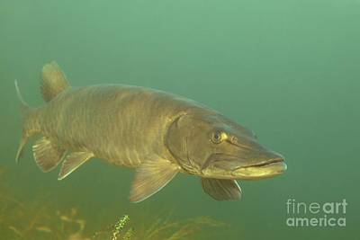 Muskellunge Photograph - Deep Water Muskie by Engbretson Underwater Photography