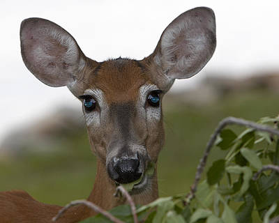 Igor Baranov Photograph - Deer by Igor Baranov