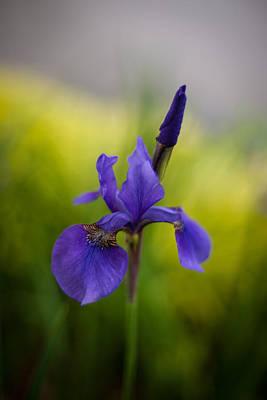Iris Photograph - Delicate Japanese Iris by Mike Reid