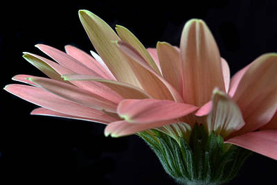 Delicate Petals. Original by Terence Davis