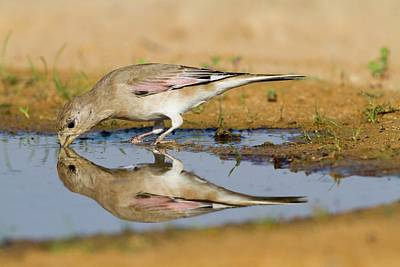 Finch Photograph - Desert Finch (carduelis Obsoleta) by Photostock-israel