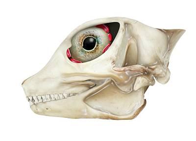 Desert Horned Lizard Skull Print by Claus Lunau