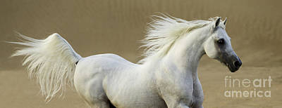 Egyptian Arabian Photograph - Desert Stallion Runs by Carol Walker