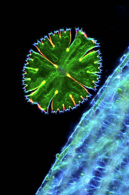 Desmid And Sphagnum Moss Print by Marek Mis