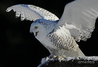 Shelley Myke Photograph - Destiny's Journey - Snowy Owl by Inspired Nature Photography Fine Art Photography
