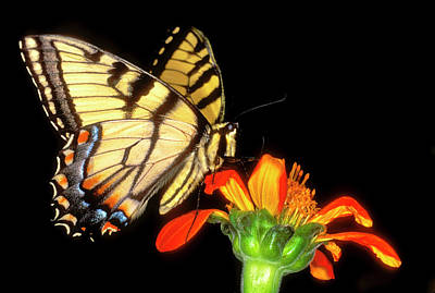 Blue Swallowtail Photograph - Detail Of A Captive Western Tiger by Jaynes Gallery
