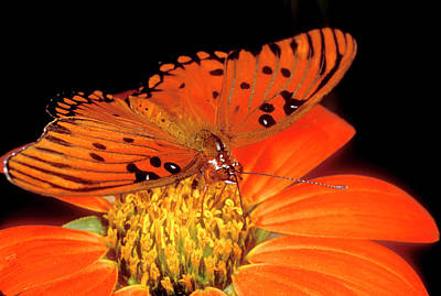 Fritillaries Photograph - Detail Of Captive Gulf Fritillary by Jaynes Gallery