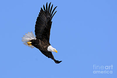 American Bald Eagle Photograph - Determination by Larry Ricker