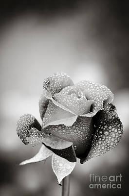Monochrome Photograph - Dew Covered Rose by Oscar Gutierrez
